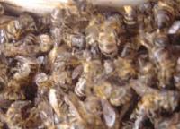 Метод пчёлоужаления
